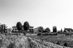 The fields of Friuli Venezia-Giulia cultivated with grapevines. The vineyards of Buttrio in a summer day. Collio Friulano, Udine Province, Friuli Venezia-Giulia stock photo