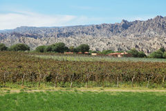 Vineyards in Cafayate, Argentina. Vineyards with fall colors near Cafayate, Argentina royalty free stock image