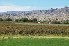 Vineyards in Cafayate, Argentina royalty free stock image