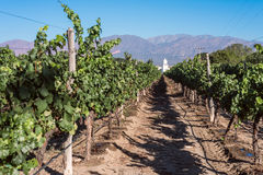Vineyards in Cafayate Stock Images