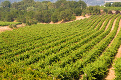 Vineyards in California Royalty Free Stock Images