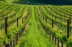 Vineyards in California, USA. Vineyards landscape in California, USA royalty free stock photography