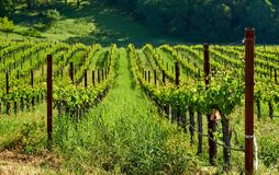 Vineyards in California, USA. Vineyards landscape in California, USA stock photography