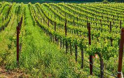 Vineyards in California, USA. Vineyards landscape in California, USA stock photo