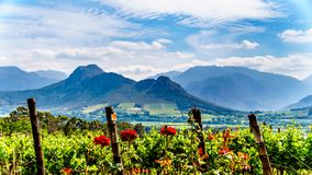 Vineyards of the Cape Winelands in the Franschhoek Valley in the Western Cape of South Africa. Amidst the surrounding Drakenstein mountains royalty free stock photography