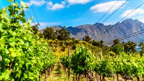 Vineyards of the Cape Winelands in the Franschhoek Valley in the Western Cape of South Africa. Amidst the surrounding Drakenstein mountains stock photo