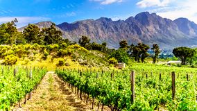 Vineyards of the Cape Winelands in the Franschhoek Valley in the Western Cape of South Africa. Amidst the surrounding Drakenstein mountains stock image