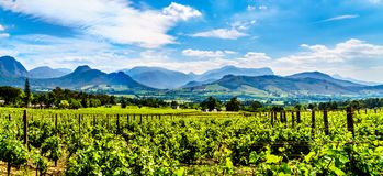 Vineyards of the Cape Winelands in the Franschhoek Valley in the Western Cape of South Africa. Amidst the surrounding Drakenstein mountains stock photos