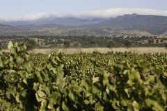 Vineyards of Castile-La Mancha Stock Photography