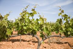 Vineyards in Catalonia. Vineyards in Montferri ( Alt Camp ), Tarragona province, Catalonia, Spain royalty free stock images