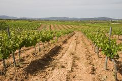 Vineyards in Catalonia. Vineyards in Montferri ( Alt Camp ), Tarragona province, Catalonia, Spain royalty free stock photography