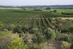 Vineyards in Catalonia Royalty Free Stock Photography
