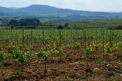 Field of vines. Vineyards in the cava wine growing area near Sant Sadurní d`Anoia, a municipality in the comarca of the Alt Penedès in Catalonia Spain royalty free stock photography