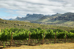Vineyards in Cederberg nature reserve. South Africa Stock Photography