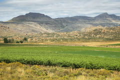 Vineyards in Cederberg nature reserve Royalty Free Stock Images