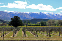Vineyards in central Otago. New Zealand royalty free stock photography