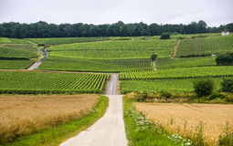 Vineyards in CHampagne. (France) at summer (july royalty free stock image