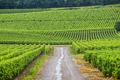 Vineyards in Champagne Royalty Free Stock Images