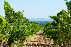 Vineyards in chateau, Châteauneuf-du-Pape, France Royalty Free Stock Photo