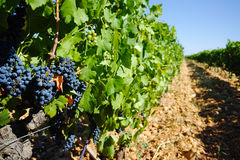 Vineyards in chateau, Chateauneuf-du-Pape, France Royalty Free Stock Photo