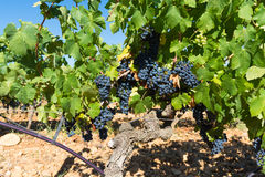Vineyards in chateau, Chateauneuf-du-Pape, France Stock Image
