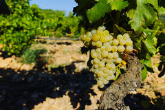 Vineyards in chateau, Châteauneuf-du-Pape, France Royalty Free Stock Image