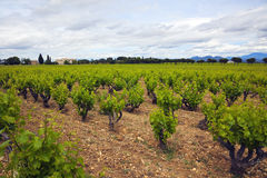 Vineyards at Chateauneuf du Pape Royalty Free Stock Photos