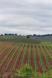 The vineyards of Chianti. Royalty Free Stock Photo