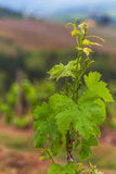 The vineyards of Chianti. Royalty Free Stock Image