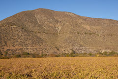 Vineyards of Chile Royalty Free Stock Photography