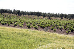 Vineyards in Ciudad Real in Spain Stock Images