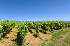 Vineyards and clear blue sky Royalty Free Stock Images