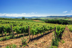 Vineyards on clear summer day Stock Image