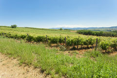 Vineyards on clear summer day Royalty Free Stock Images