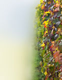 Vineyards (closeup of leaves) Stock Photography