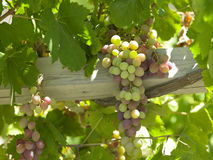 Vineyards - Colchagua Valley - Chile royalty free stock photography