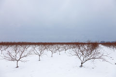 Vineyards in cold weather. Cold winter morning in a Niagara on the Lake vineyard, Southern Ontario, Canada Stock Image