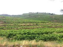 Vineyards at Collioure France Royalty Free Stock Photos