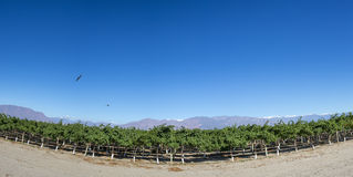 Vineyards, condors and blue sky in Argentina royalty free stock images