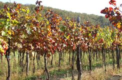 Vineyards in the countryside with the colored leaves in autumn Royalty Free Stock Photo
