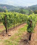 Vineyards in the countryside of Tuscany in Italy Stock Photos