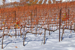 Vineyards covered with snow Stock Photo