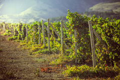 Vineyards in Crimea. Royalty Free Stock Images