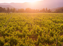 Vineyards of the Crimean peninsula in the setting sun Royalty Free Stock Image