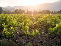 Vineyards of the Crimean peninsula in the setting sun Royalty Free Stock Images