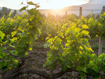 Vineyards of the Crimean peninsula in the setting sun Stock Photography