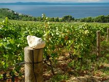 Vineyards in Croatia Royalty Free Stock Photography