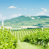 Vineyards, Czech Republic Royalty Free Stock Photography