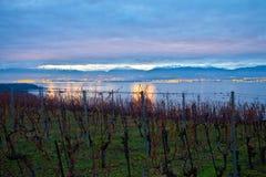 Vineyards at dawn. Grape trees in a Swiss vineyard at winter time at dawn Stock Photo