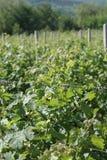 The vineyards of Demir Kapija, Macedonia. The beautiful vineyards of Demir Kapija located in Macedonia Royalty Free Stock Image